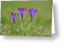 Trio In Violet Greeting Card