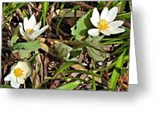 Trio Of Bloodroot Flowers Greeting Card