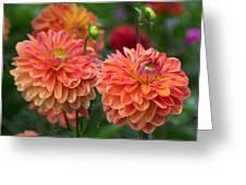 Trio Of Dahlias.  Greeting Card