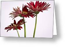 Trio Of Red Gerbera Daisys Greeting Card