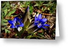 Triple Mountain Gentian Blooms Greeting Card