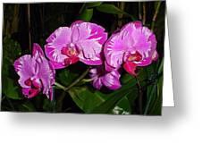 Triple Pink Phalaenopsis Greeting Card