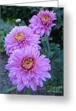 Triplets Of Purple Mums Greeting Card