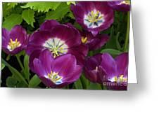 Triumph Tulips Negrita Variety Greeting Card