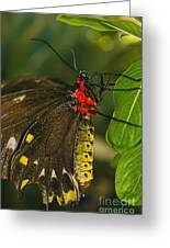 Troides Helena Butterfly  Greeting Card