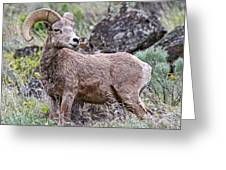 Wild Bighorn Greeting Card