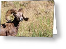 Trophy Bighorn In The Grass Greeting Card