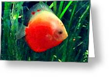 Tropical Discus Fish Greeting Card by Amy Vangsgard