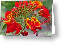Tropical Flower Caesalpinia Red And Yellow Greeting Card