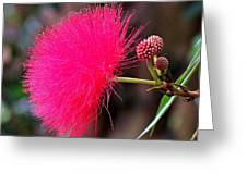 Red Mimosa Flower Greeting Card