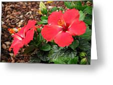 Tropical Hibiscus - Starry Wind 01 Greeting Card