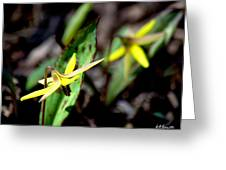 Trout Lilies Greeting Card