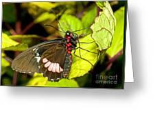 True Cattleheart Butterfly Greeting Card