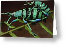 True Weevil Couple Mating Papua New Greeting Card