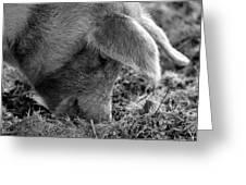 Truffle Pig  Greeting Card