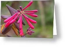 Trumpet Honeysuckle Buds Of Coral Woodbine  Greeting Card