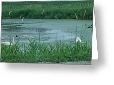 Trumpeter Swan Family Greeting Card