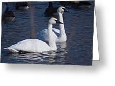 Trumpeter Swan Pair Greeting Card
