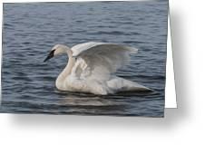 Trumpeter Swan - Profile Greeting Card