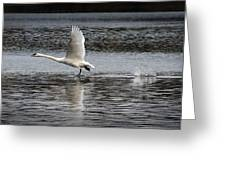 Trumpeter Swan Walking On Water Greeting Card