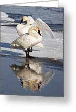 Trumpeter Swans Greeting Card by Doug Davidson