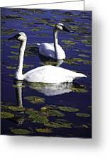 Trumpeter Swans In The Blue Greeting Card