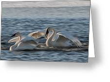Trumpeter Swans Playing Tag Greeting Card