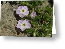 Tufted Phlox Greeting Card