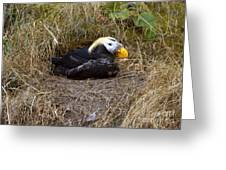 Tufted Puffin Greeting Card