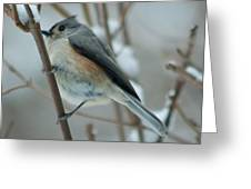 Tufted Titmouse Male Greeting Card