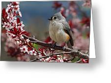 Tufted Titmouse On Ornamental Plum Blossoms Greeting Card