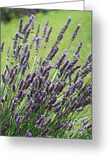 Tuilieres Lavender Greeting Card