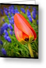 Tulip And Muscari  Greeting Card