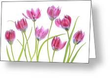 Tulip Blush Greeting Card