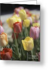 Tulip Display Greeting Card