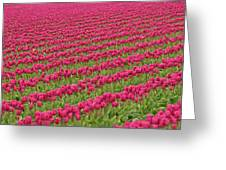 Tulip Festival In Mount Vernon Greeting Card