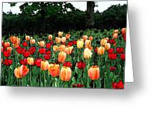 Tulip Festival  Greeting Card by Zinvolle Art