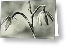 Tulip Poplar Empty Seed Heads - Black And White Greeting Card