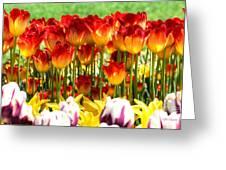 Tulip Stand In Mount Vernon Washington Greeting Card