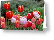 Tulip Tango Greeting Card
