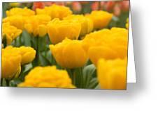 Tulips 29 Greeting Card