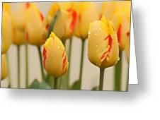 Tulips 6 Greeting Card
