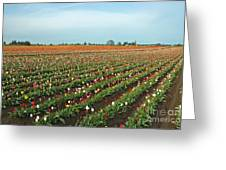 Tulips As Far As The Eye Can See Greeting Card by Nick  Boren