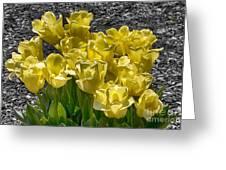 Tulips At Dallas Arboretum V23 Greeting Card