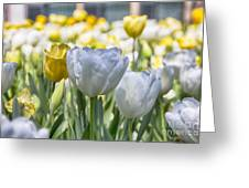 Tulips At Dallas Arboretum V28 Greeting Card