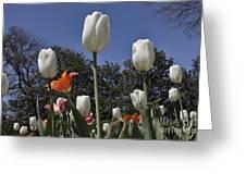 Tulips At Dallas Arboretum V36 Greeting Card