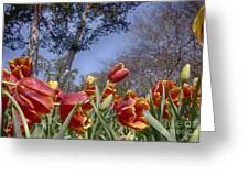 Tulips At Dallas Arboretum V37 Greeting Card