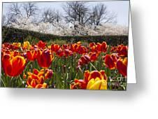 Tulips At Dallas Arboretum V39 Greeting Card