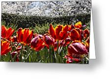 Tulips At Dallas Arboretum V41 Greeting Card