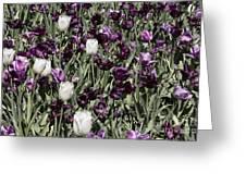 Tulips At Dallas Arboretum V43 Greeting Card